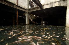 """An Abandoned Bangkok Shopping Mall Hides a Fishy Secret: an old shopping mall has a self-sustaining and thriving """"pond"""" in it's basement, filled with exotic Koi and catfish species"""
