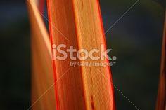 Sunlit Harakeke Leaf (NZ Flax) Royalty Free Stock Photo