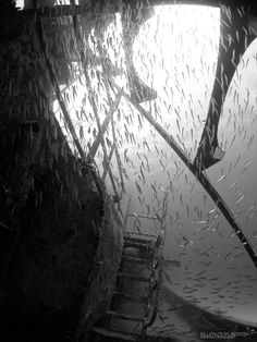 Silversides+at+the+EX-USS+Kittiwake+-+Every+year+mid+July,+silversides+gather+at+grotto's+and+crevices.+This+year,+they+also+hang+around+the+Ex-USS+Kittiwake+wreck,+sunk+in+january+2011.