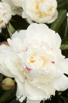 Paeonia x 'Festiva Maxima' (2-3' tall and wide), Decid, mid to late spring bloom, Frag