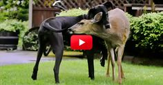 This Great Dane Has An Unusual Best Friend–And Their Relationship Is Adorable! You Have To See This! | The Animal Rescue Site Blog