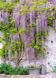 Wisteria one trellis. Would like this going up and around the front door and hanging down over the Juliette balcony Wisteria one trellis. Would like this going up and around the front door and hanging down over the Juliette balcony