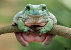 This Photographer Photographs Frogs Like You've Never Seen Before Pics) Fat Animals, Fluffy Animals, Cute Reptiles, Reptiles And Amphibians, Frog Pictures, Animal Pictures, Frog Pics, Whites Tree Frog, Pet Frogs