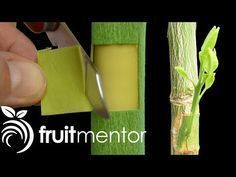 Grafting Citrus Trees with the Patch Bud - Making a Fruit Cocktail Tree Grafting Fruit Trees, Grafting Plants, Plant Propagation, Fruit Cocktail Tree, Apple Tree From Seed, Permaculture Design, Citrus Trees, Tree Sculpture, Growing Tree