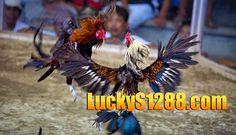 Sabung Ayam Pisau