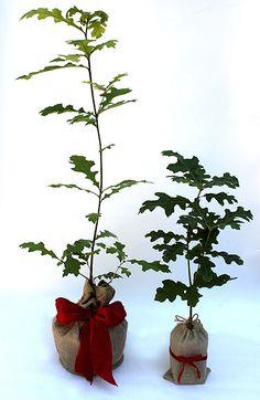 Enduring oak - a symbol of strength and endurance