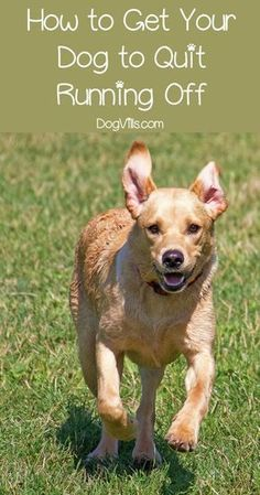 Cat Training Tips How Can You Get Your Dog to Stop Running Off? Easy training guide even for novice dog owners. - How do you get your dog to quit running off? Train him to stay, of course. Check out our tips to keep Fido from fleeing! Dog Training Near Me, Training Your Puppy, Dog Training Tips, Potty Training, Training Classes, Agility Training, Training Schedule, Race Training, Training Videos