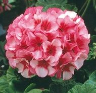 Maverick Hybrid Star Blush/Pink Rose Centered - profuse bloomers and support large ,rounded flower heads on decorated zoned foliage. Mavericks are beautiful garden performers and spectacular in any container