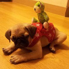 #pug#starwars #pugs #puglife #pugstagram #instapug #puppia #pugsofinstagram #puglover #puppy #baby #dog #dogs #pet #love #cute #happy #개 #퍼그 #강아지#유기견
