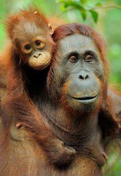orangutan - What a pair!