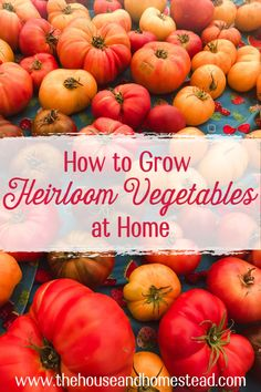 If you've never tasted an heirloom tomato fresh off the vine then you've never lived! Learn how to grow an heirloom vegetable garden at home, from seed! #heirloomvegetables #gardening #garden #vegetablegarden