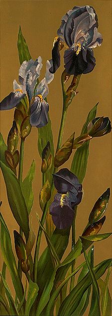 H.K. Ely    Irises    19th century Ely, H. K. (artist); L. Prang & Co. (publisher)  Date issued: 1861-1897 (approximate)  Copyright date:  Physical description note:  Genre: Chromolithographs; Still life prints  Location: Boston Public Library, Print Department