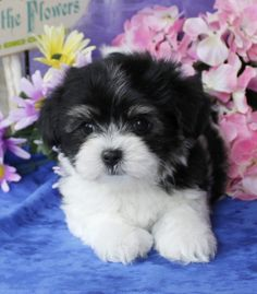 Discover Havanese Geschoren Source by The post Havanese Dogs Welpen appeared first on Sellers Canines. Havanese Breeders, Havanese Puppies For Sale, Havanese Dogs, Baby Puppies, Baby Dogs, Cute Puppies, Pet Dogs, Dogs And Puppies, Pets