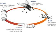 Image result for house fly diagram inspiration question mark fly life cycle ccuart Image collections