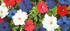 Petunia, impatiens, lobelia, verbena, pansies and bachelor's buttons.  A red, white and blue flower bed is a great way to combine  <3 of flowers with <3 of country.