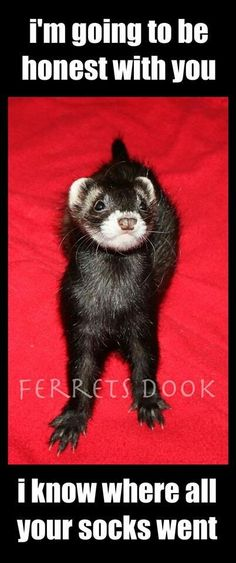 Ferret fesses up...