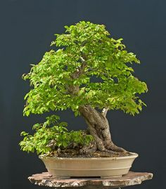 The Art of Bonsai Project - Feature Gallery: Hornbeams