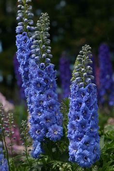 Buy delphinium Delphinium 'Blue Lace (New Millennium Series)' - Towering summer spires: Delivery by Crocus Blue Garden, Colorful Garden, Summer Flowers, Blue Flowers, Garden Beds, Garden Plants, Gothic Garden, Herbaceous Perennials, Garden Borders
