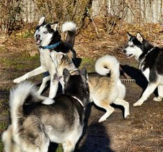 Siberian Huskies playing.