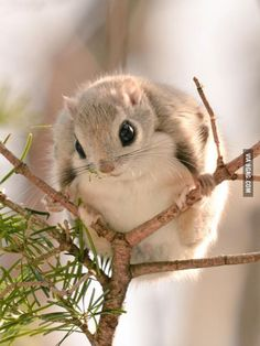 Momonga in a tree