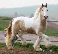 Gypsy Vanner Horses are one of the most beautiful horse breeds in the world. At gypsy MVP you will find only the finest quality stallions of this breed. Big Horses, Horses For Sale, Horse Love, Horse Girl, Most Beautiful Horses, Pretty Horses, Animals Beautiful, Cute Animals, Horse Barns