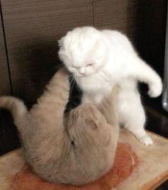 Cute Cat Memes, Cute Animal Memes, Cute Funny Animals, Cute Baby Animals, Funny Cats, Cute Baby Cats, Cute Cats And Kittens, I Love Cats, Cool Cats