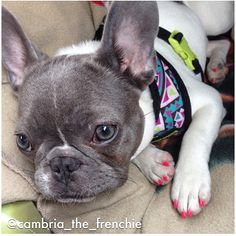"""Gorgeous girl! Frenchie Reversible Harness in Aztec❤️ #frenchiepetsupply  www.frenchiebulldog.com (link in bio)  Official Frenchie Reversible Harnesses, Collars, Leashes """"For the Frenchie Obsessed""""  For a chance to be featured Follow and Tag  @frenchie_bulldog + #frenchiepetsupply in your #Frenchie gear!  Photo by @cambria_the_frenchie"""
