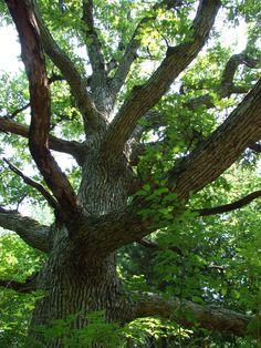 Tree St. Charles, IL