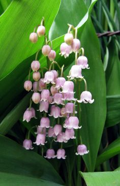 lily of the valley flowers - Bing images Unusual Flowers, Amazing Flowers, Beautiful Flowers, Butterfly Flowers, Spring Flowers, Wild Flowers, Flower Background Wallpaper, Flower Backgrounds, Lily Of The Valley Flowers