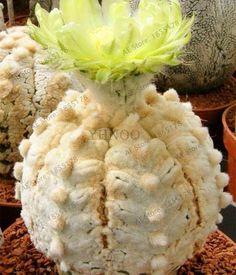Semillas De Flores 200 lithops Seed Pseudotruncatella Succulents Raw Stone Cactus Seeds Stems Tetragonia Potted Flowers Fleshy