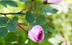 """Rosa Glauca """"Nova"""" Ruusulajikkeiden kirjo on värikäs"""