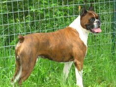 Boxer Dog Photo Boxer Puppies, New Dog Funny Pet Pictures Dogs,Cats,Birds,Hamsters . Pictures Of Boxer Dogs, Funny Animal Pictures, Dog Photos, Funny Animals, Funny Boxer, Funny Dogs, Pet Dogs, Dogs And Puppies, Pets