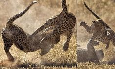 Leopards photographed in mid-air as they fight for territory