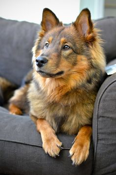 simply-canine:   	Sultan - Sheltie x Eurasier by Bram Top