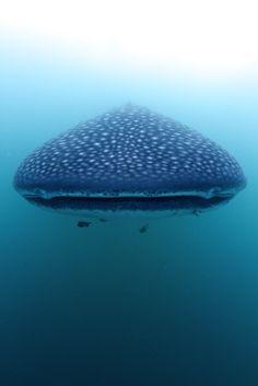 Eye to eye with a Whale Shark (Rhincodon typus) by steve de neef