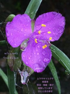#Dew #Dewdrops #Raindrops #Waterdrops #Flowers #Purpple   (Source:  ☆miles.スマイル✩立夏♡蚕起食桑 (@milessmile_0311) | Twitter  |  17 May 2016 |   [https://twitter.com/milessmile_0311/status/732401808056819713]   |  THIS Post: 21 May 2016 (Saturday)