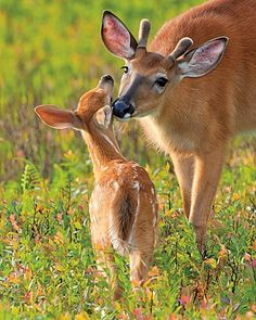White-tailed Deer and Fawn, so cute | http://wildanimalcollections.blogspot.com