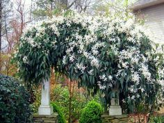 Armand Clematis 20'+ Long Endless Spread Evergreen Blooms in Spring Plant in Full Sun in Most soil types Growth Rate is Fast www.greenprintLED.com