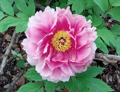 The Purdue Arboretum: Find a Plant – find your favorite and see when it's in bloom and where to find it on campus (pictured – one of this recruiters favorite – Paeonia).