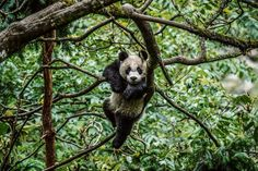 A panda cub explores the treetops of an enclosure at a panda-training facility in China in this National Geographic Photo of the Day. Panda Day, Panda Love, Delta Del Okavango, Panda Images, Animal Categories, National Geographic Travel, Photography Day, Travel Photography, Wildlife Photography