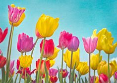 Multi-colored tulips with Teal Red Yellow and by FloatingLeafArts