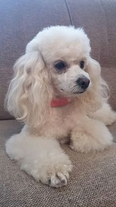 Poodle Cuts, Poodle Mix, Cute Puppies, Cute Dogs, Dogs And Puppies, White Toy Poodle, Toy Poodles, Little Dogs, Pet Toys