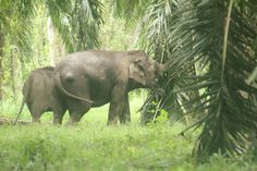 Elephants can be quite destructive in oil palm plantations, sometimes leading to conflict between workers and pachyderms. Photo courtesy of:...