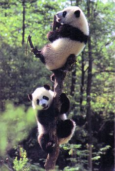 Giant Panda: Experts in climbing the trees (China)