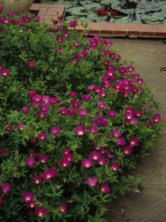 Winecup / Purple poppy-mallow [Callirhoe involucrata] - Evergreen/Semi-evergreen forb, 0-1 feet. Sun or Part Shade.  Prefers well-drained soil. Drought tolerant. Flowers attract bees and butterflies.  Spreading habit makes it good for ground cover, trailing over walls, or for hanging baskets.: