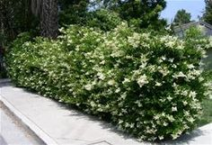 Ligustrum Japonicum Hedge: late Spring bloom, usually May- prune after- can grow up to 15 ft high and wide, if allowed. Easily maintain ~5-6 ft as well. Often seen pruned into tree form, Ligustrum is nicely used for screening, hedges (formal or informal), tree form specimen as focal point or corner buffers.