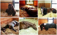 WinStar Farm @WinStarFarm  18 Dec 2015 On the sixth day of Christmas, my true love gave to me: Six Stallions Sleeping!