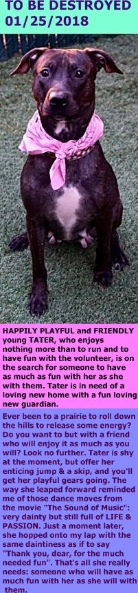 MURDERED 01/25/2018 --- Hello, my name is Tater. My animal id is #18276. I am a female brown brindle dog at the Manhattan Animal Care Center. The shelter thinks I am about 3 years 1 weeks old.  I came into the shelter as a stray on 14-Jan-2018. http://nycdogs.urgentpodr.org/tater-18276/