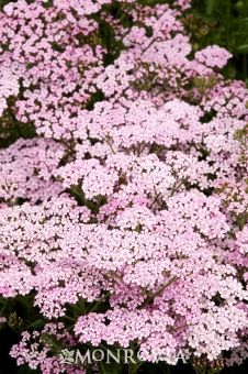NATIVE. Appleblossom Yarrow - Achillea millefolium 'Appleblossom'. Easy-to-grow herbaceous perennial boasts showy soft pink to pale rose flowers that offer a cool look to the summer garden. Fast-growing clumps of ferny, gray-green leaves form a compact, spreading mound, perfect for massed plantings. Flowers may be cut and dried for bouquets. ATTRACTS BUTTERFLIES. Fast grower to 2 to 3 ft. tall and wide. Full Sun.