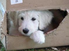 Puppyplaats.nl - Zwitserse herder langhaar x grote poedel wit teefje 8 weken oud. - Kruising: Poedel x Zwitserse Witte Herdershond pups